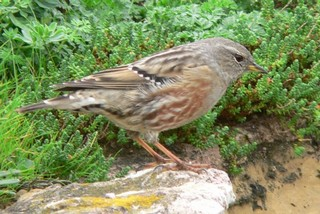 Wintering Alpine Accentors are at home in niches a...
